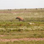 hyena01
