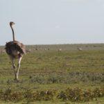 ostrich01