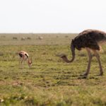 ostrich02