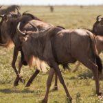 wildebeest04